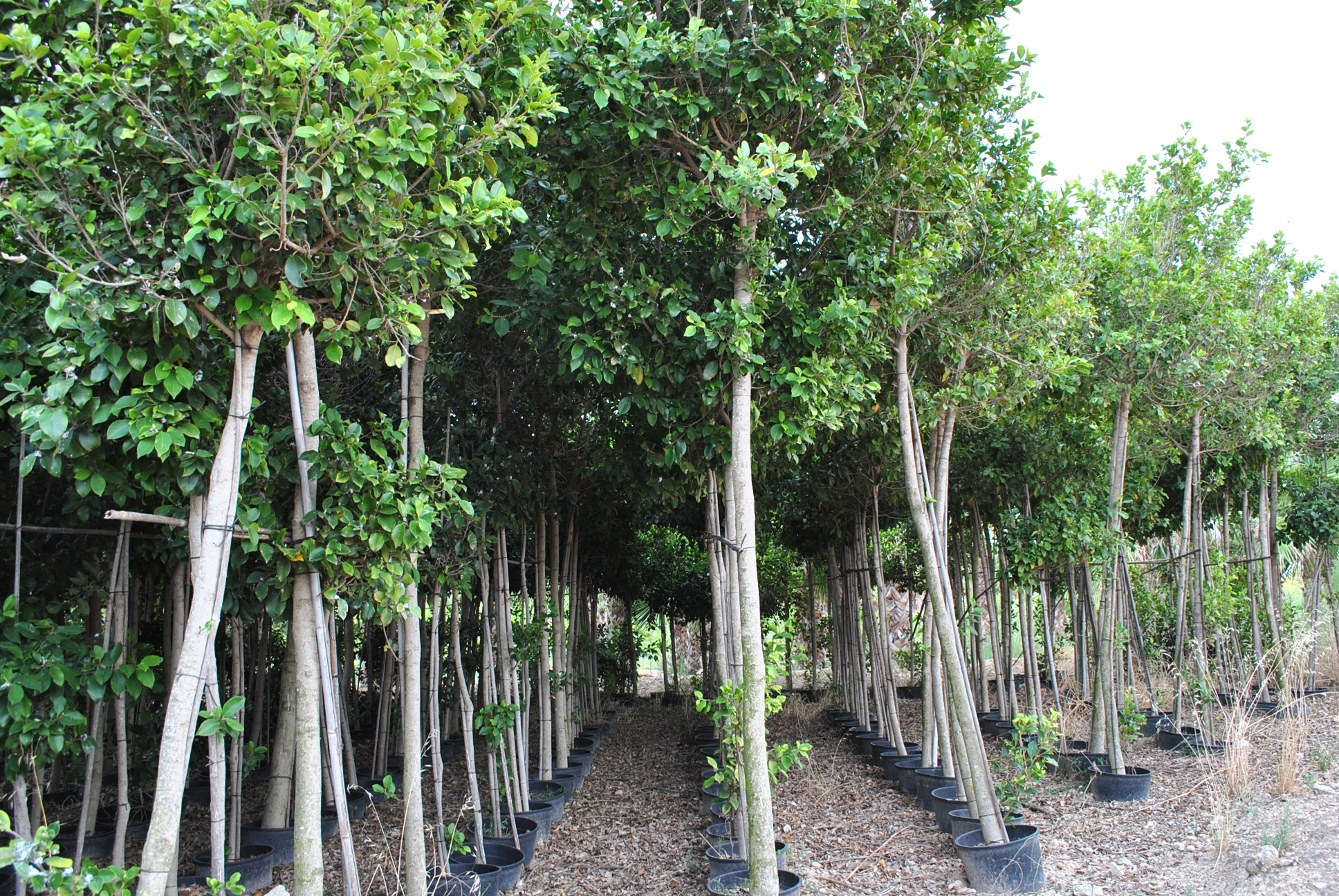 Arboles ornamentales for Viveros de arboles en madrid