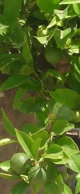 Planta Mediterranea